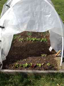 hoop house lettuce