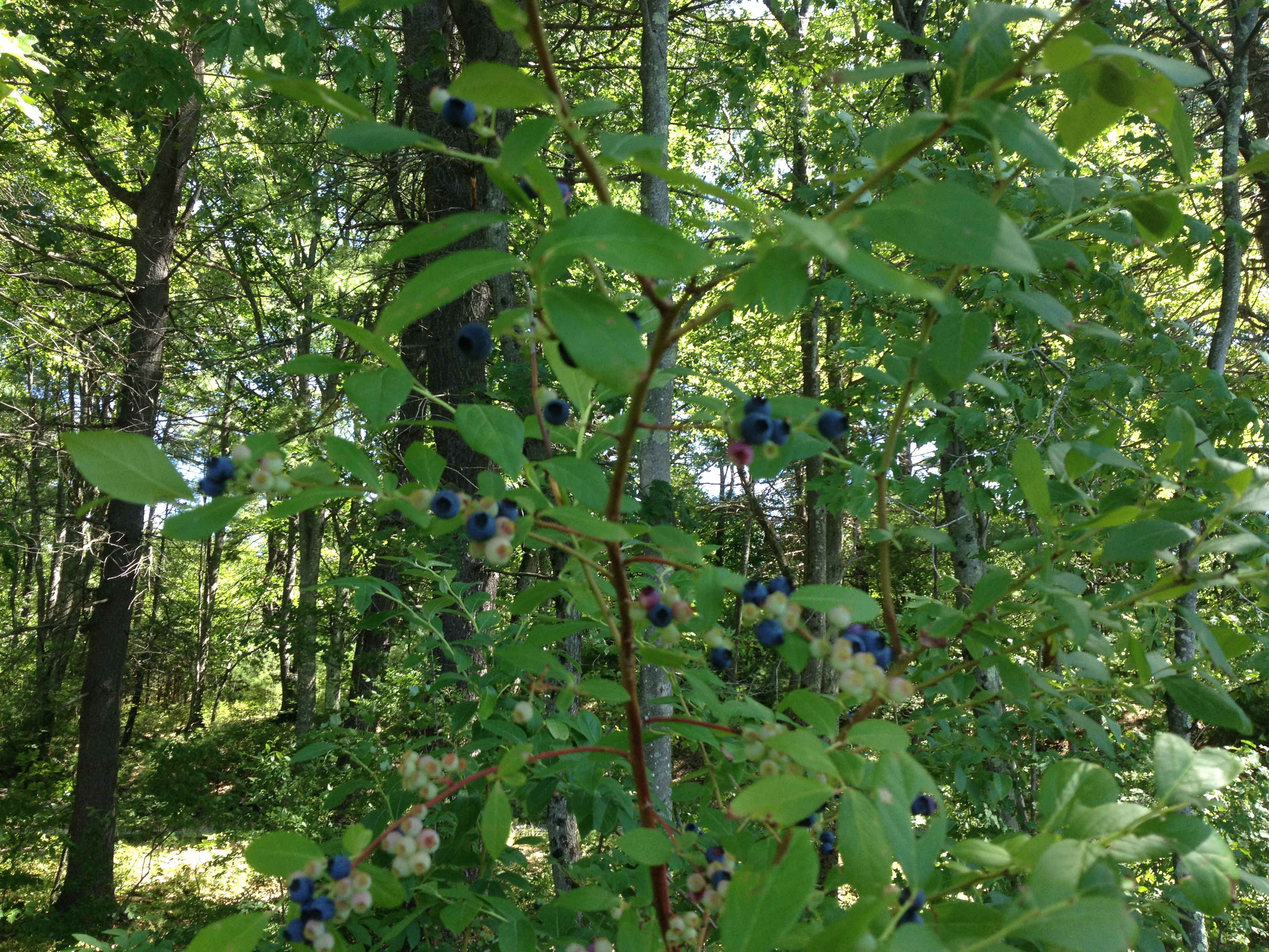 High Brush Wild Blueberries