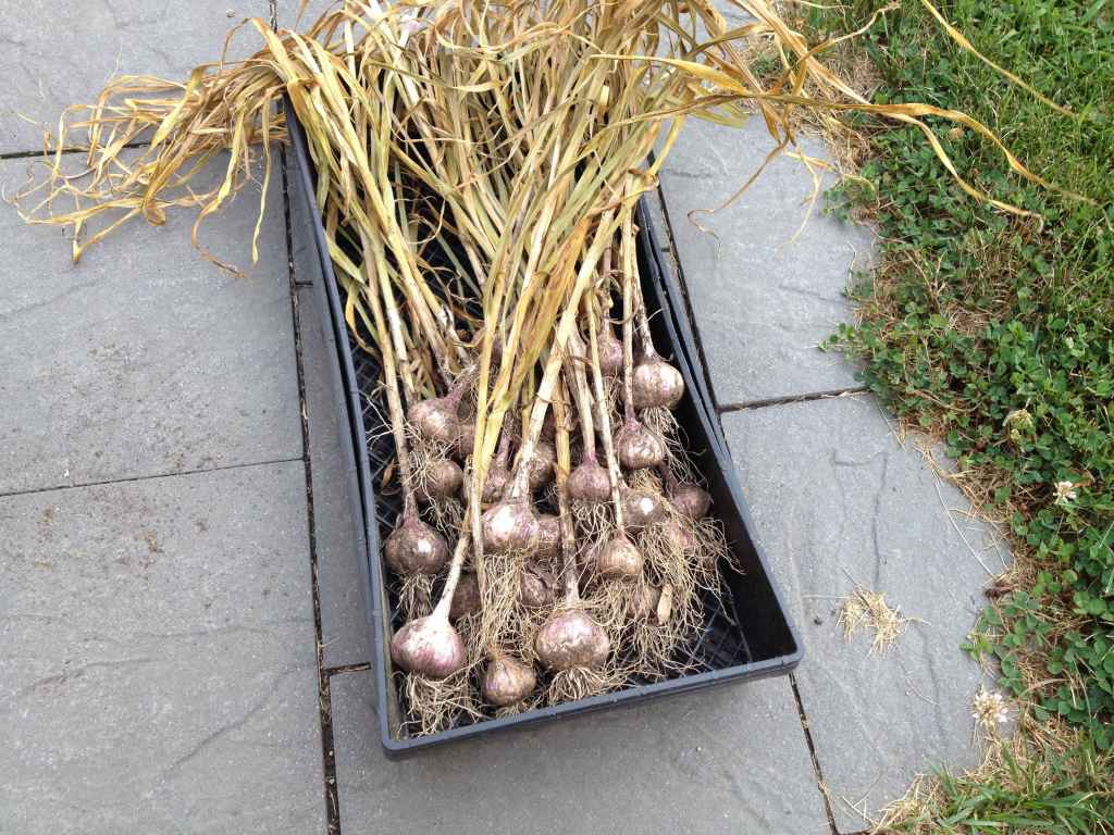 How to Plant and Grow Garlic In The Fall