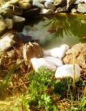 Des nénuphars dans la mare, des plantes aromatiques autour...
