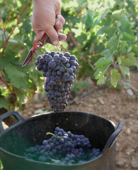 cortado de uva