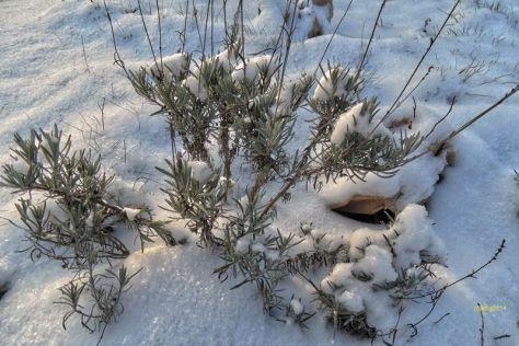 Lavendel im Schnee