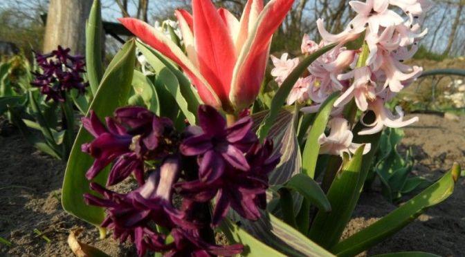 Blütezeit Tulpen