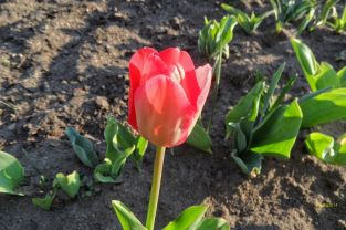 Tulpe in Rot