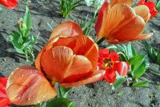 Orangerote Tulpen