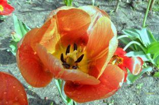 Noch eine Orangerote Tulpe