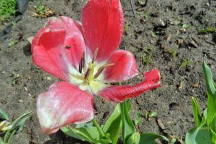 Tulpe in Rot mit gelb und weiß