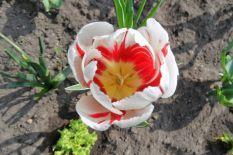 Tulpenblüten KW14_17 13