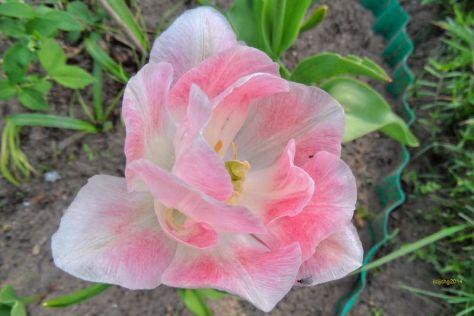 Tulpenblüten 2.8