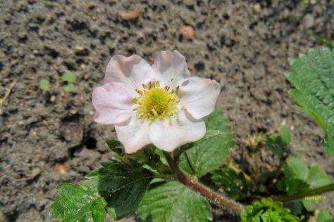 Hellrosa Erdbeerblüte