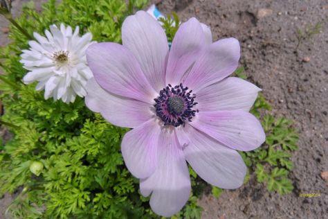 Anemone in rosa Tönen