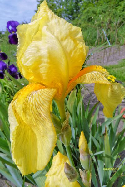 Schwertlilie in gelb mit ganz geöffneter Blüte