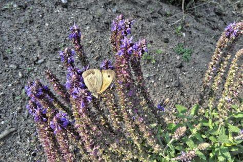 """Schmetterling """"Großes Ochsenauge"""""""