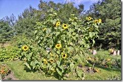 jcg1436_Sonnenblumen