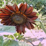 Sonnenblume rot 13.08.15