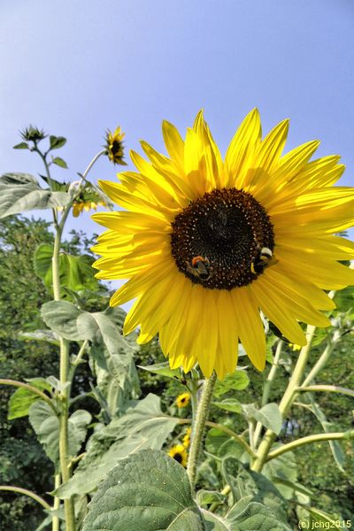 Riesensonnenblumen mit Hummeln 13.08.15
