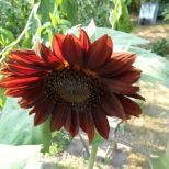 Rote Sonnenblume 13.08.15