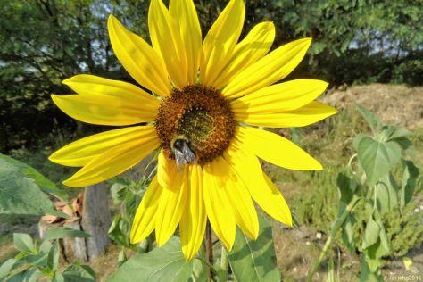 Hummeln und Sonnenblume 13.08.15