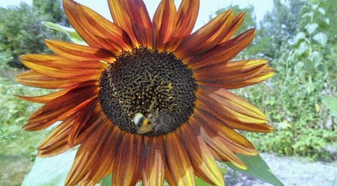 Rotgelbe Sonnenblume mit Hummel