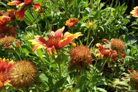 Kokardenblumenblütemnmit Hummel und Schmetterling am 22.08.15