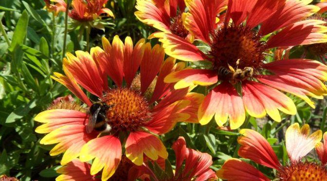 Kokardenblume und Insekten