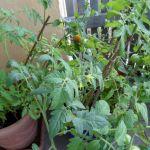 Tomaten 3