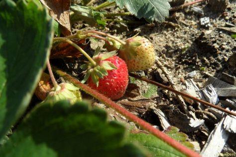 Erdbeeren 29.08.2015