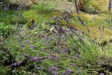 Schwalbenschwanz im Lavendel am 17.07.2016