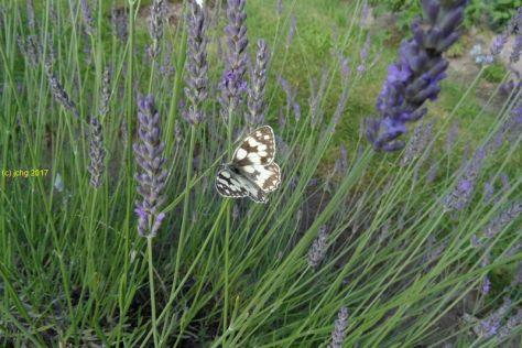 """Schachbrettfalter am Lavendel im Beet """"Acht"""" Bild 2am 08.07.2017"""
