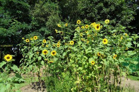 """Sonnenblumren Beet """"Mangold"""" am 20.08.2017"""