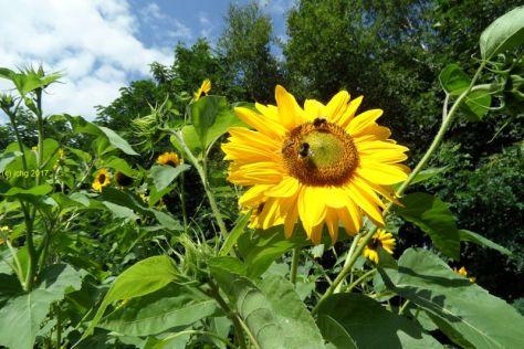 """Sonnenblumrenblüten mit Insekten21 Beet """"Mangold"""" am 20.08.2017"""
