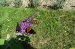 Sommerfliederblüte mit gleich drei Pfauenaugen
