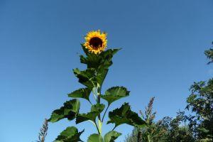 Unsere höchste Sonnenblume 2015