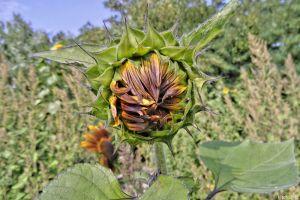 Sonnenblume vor dem Aufgehen