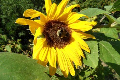 Sonnenblume und Hummel 1 am 16.09.2015