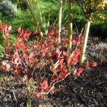 Heidelbeerblätter im Herbst