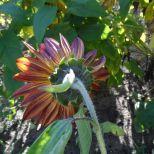 Rotgelbe Sonnenblume von hinten