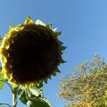 Die Riesensonnenblume im Herbst