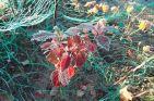 Apfelbeere herbstlich gefärbt und gefroren