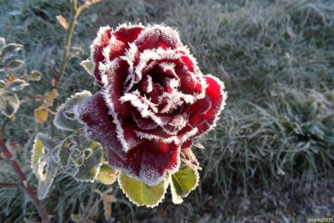 Rosenblüte gefroren