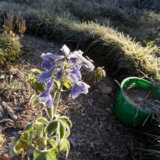 Ritterspornblüten tiefgefroren