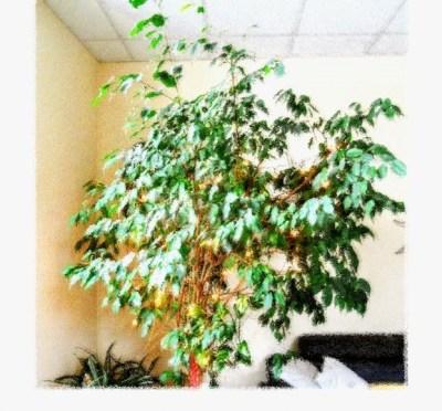 Der Ficus in seiner Ecke