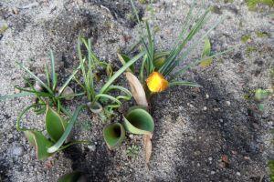 Blühender Krokus und wachsende Tulpen