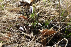 Krokusse lila-weiß im Gras am 27.02.2016