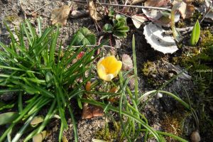 Krokus mit hell-gelber Blüte