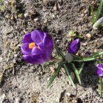 Krokus mit lila Blüten