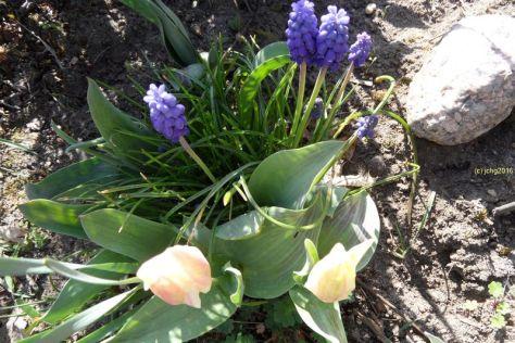 Tulpenblüten und Traubenhyazinthen am 08.04.2016