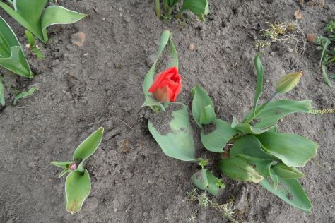 Rote Tulpe am 09.04.2016