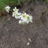 Blüten am Beerenstrauch