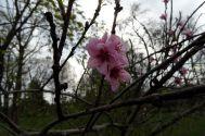 Vier Pfirsichblüten am 15.04.2016